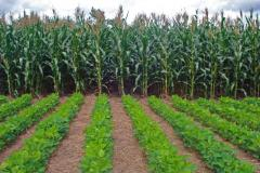 Conservation Agriculture crop Rotation